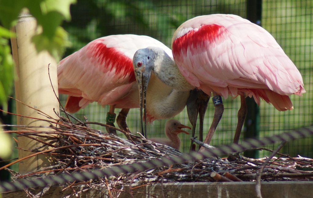 Neue Ibis-Voliere im Zoo bei den Besucherinnen und Besuchern beliebt