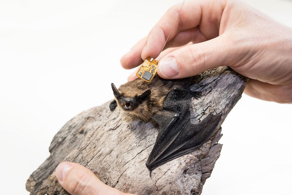 Einer Fledermaus wird ein Chip eingesetzt.