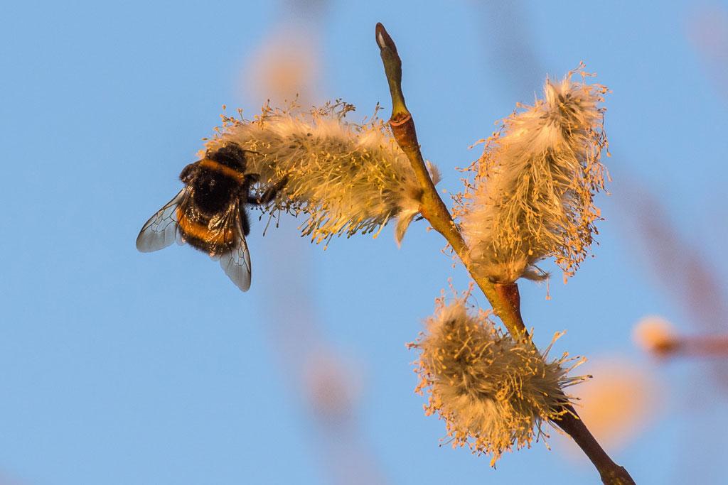 Osterstrauß: Weidenkätzchen den Wildbienen